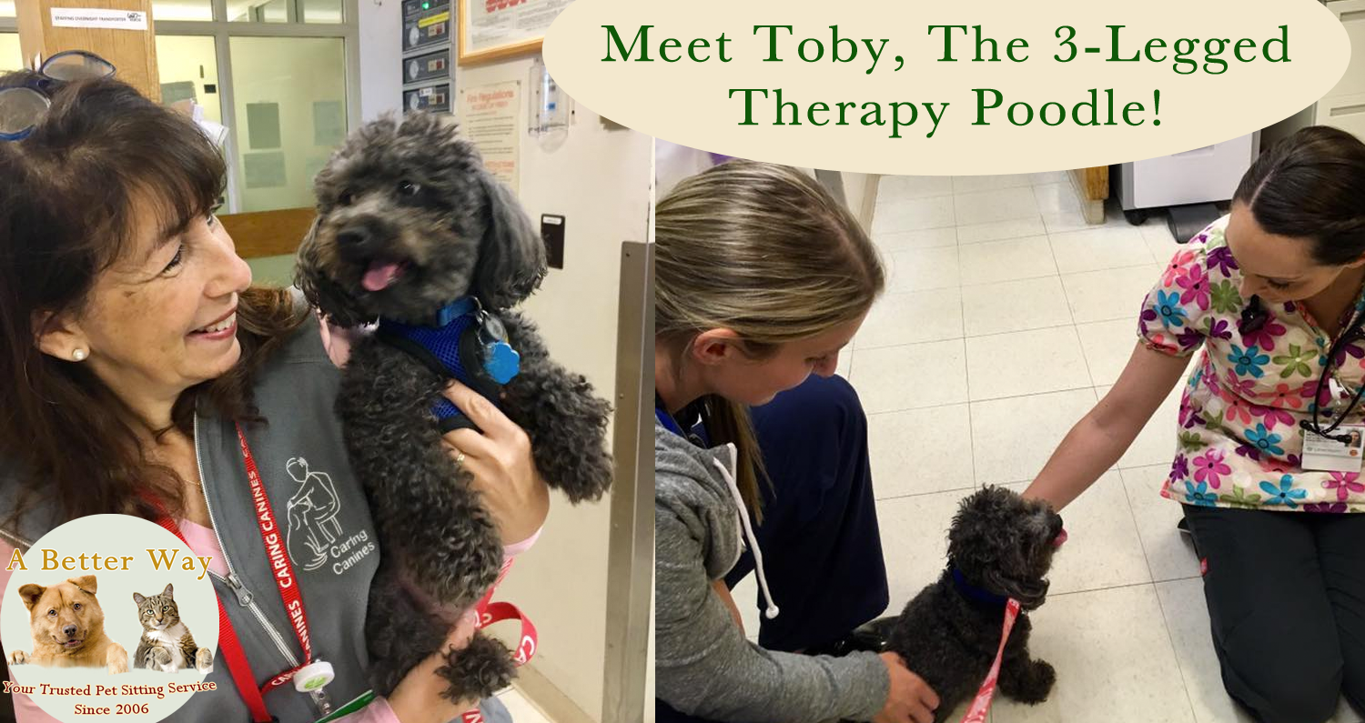 Meet Toby The The Legged Therapy Poodle